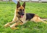 служебная пограничная собака
