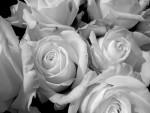 Белые розы-беззащитны шипы...