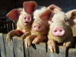 эпидемия африканской свиной чумы в Беларуси
