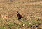 фазаны в бресте