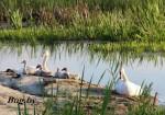 Лебединая семья на отдыхе